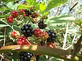 Blackberry fruits07.jpg