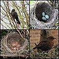 Blackbird Collage (4575596233).jpg