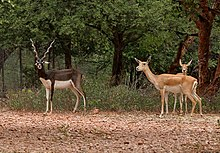 Three antelopes