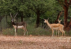 Blackbuck (Antilope cervicapra)- Male & female in Mahavir Harina Vanasthali National Park, Vanasthalipuram, Hyderabad
