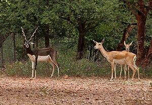 Three antelopes