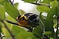 Blackburnian Warbler (male) Sabine Woods TX 2018-04-22 09-32-43 (41947546732).jpg