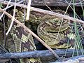 Blacktail Rattlesnake - Flickr - treegrow.jpg