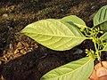 Blepharistemma serratum at Periya (9).jpg