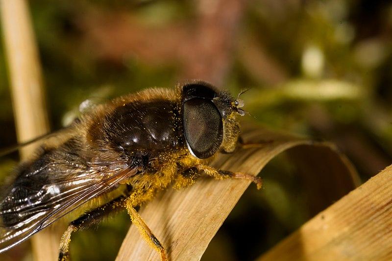 File:Blomsterflue (Syrphidae) (7182542684).jpg