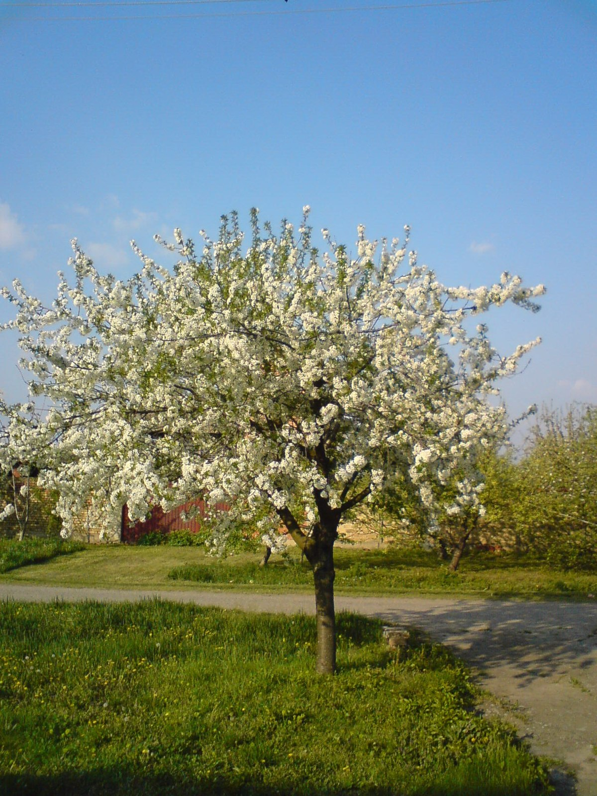 File Blooming Sour Cherry Tree Jpg Wikimedia Commons