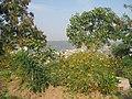 Blossoming Cosmos Flowers - panoramio.jpg