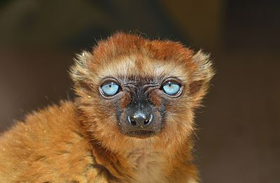 Blue-eyed_black_lemur.jpg