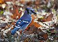Blue Jay (22929728940).jpg