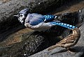 Blue jay in Central Park (81426).jpg