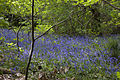 Bluebell Wood 3 (5676960348).jpg
