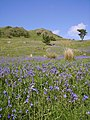 Bluebells, Lamb Pasture - geograph.org.uk - 441222.jpg