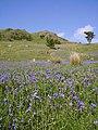 Bluebells, Lamb Pasture - geograph.org.uk - 441222.jpg