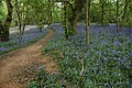 Bluebells in Lassington Wood - geograph.org.uk - 435531.jpg