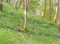 Bluebells on a hillside - geograph.org.uk - 1479992.jpg