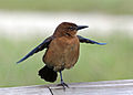 Boat-tailed Grackle - female.jpg