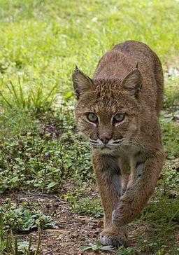 Bobcat (9597192777)
