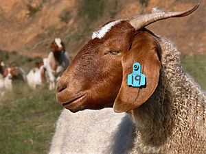 Boer goat444.jpg