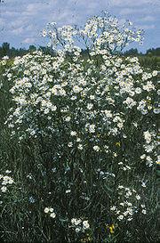 Boltonia latisquama.jpg