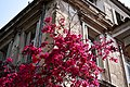 Bougainvillea tree with flowers.jpg