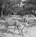 Boy and Donkey at the Qatif Gardens by Nestor John Sander 6 30.jpg