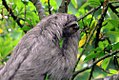 Bradypus variegatus 11zz.jpg