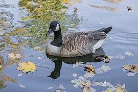 Branta canadensis - Canada goose - Kharkiv Gorky Park - 03.jpg