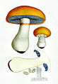 Bresadola Cortinarius varius.png