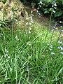 Brimeura amethystina05.jpg