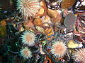 Brittle stars and urchins at Middelmas P2199308.JPG