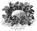 Brocoli blanc Mammouth Vilmorin-Andrieux 1904.png