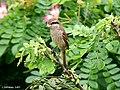 Brown Shrike I IMG 4387.jpg