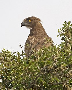 Brown Snake-Eagle (Circaetus cinereus) 2.jpg