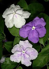 B. pauciflora, brunfelsia
