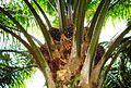 Buah kelapa sawit (5).JPG