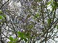 Bucuresti, Romania. Copacul Violet (2).JPG