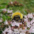 Bumblebee (Male Bombus lucorum?), Sandy, Bedfordshire (9380993977).jpg