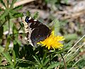 Butterfly Mammoth Lakes (20140420-0023).JPG