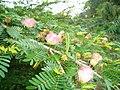 Cây Mimosa.jpg