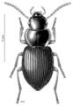 COLE Carabidae Tuiharpalus moorei 1.png