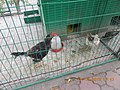 COULANGE BREED CHICKENS(UZBEK FIGHTING) AT KOK-TOBE MINIATURE ZOO..JPG