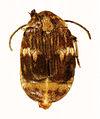 CSIRO ScienceImage 10793 Mexican bean Weevil Zabrotes subfasciatus.jpg