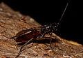 CSIRO ScienceImage 1163 The Sirex Wasp Sirex noctilio.jpg