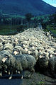 CSIRO ScienceImage 1844 Sheep on a Road.jpg