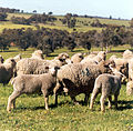 CSIRO ScienceImage 2112 Transgenic Sheep in a Field.jpg