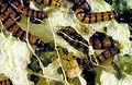 CSIRO ScienceImage 2704 Prickly Pear Moth Larvae.jpg