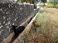 Cabres davant l'ermita de santa Paula de Dénia.JPG