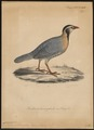 Caccabis melanocephalus - 1835 - Print - Iconographia Zoologica - Special Collections University of Amsterdam - UBA01 IZ17100299.tif