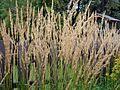 Calamagrostis x acutiflora 'Karl Foerster'.jpg