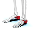 Calcaneus02 anterolateral view.png